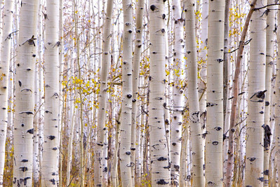 Aspens, Wasatch Mountain State Park, Uath