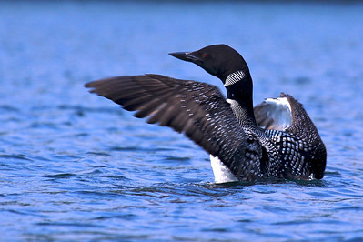 Loon, White Lake, Adirondack Park, NY